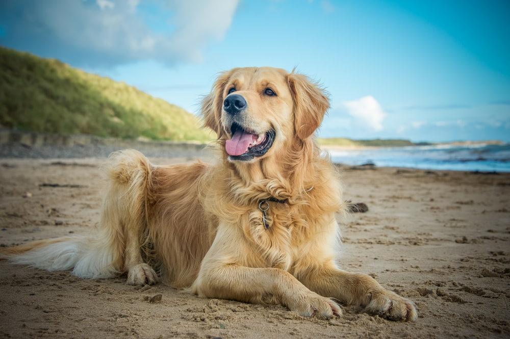 Golden Retriever dog on the beach