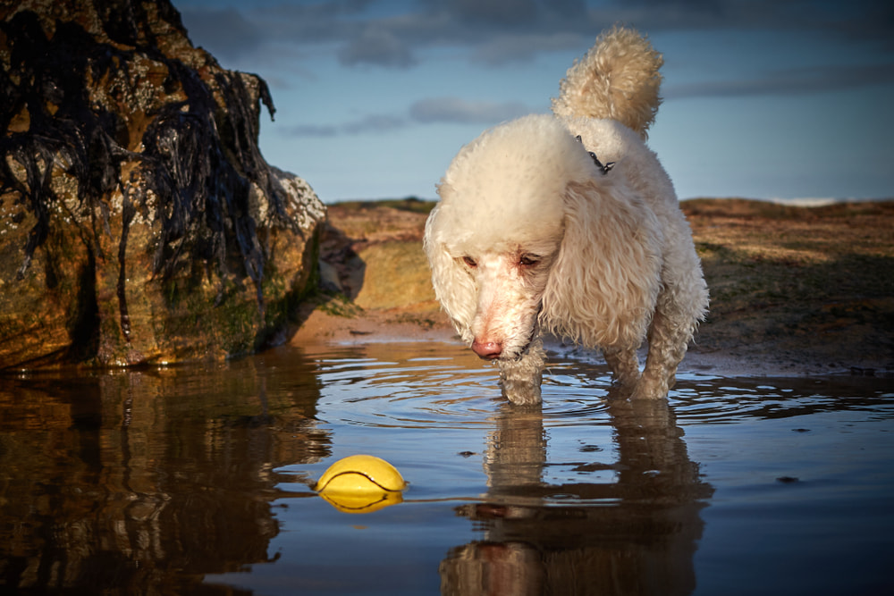 Poodle on beach chasing ball