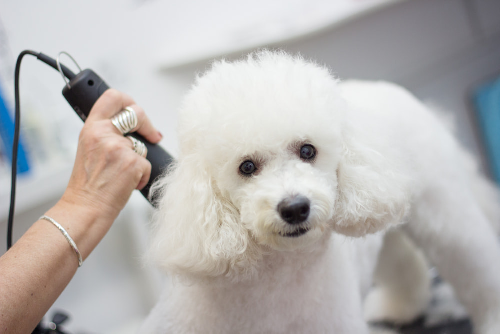 Woman grooming a Poodle dog