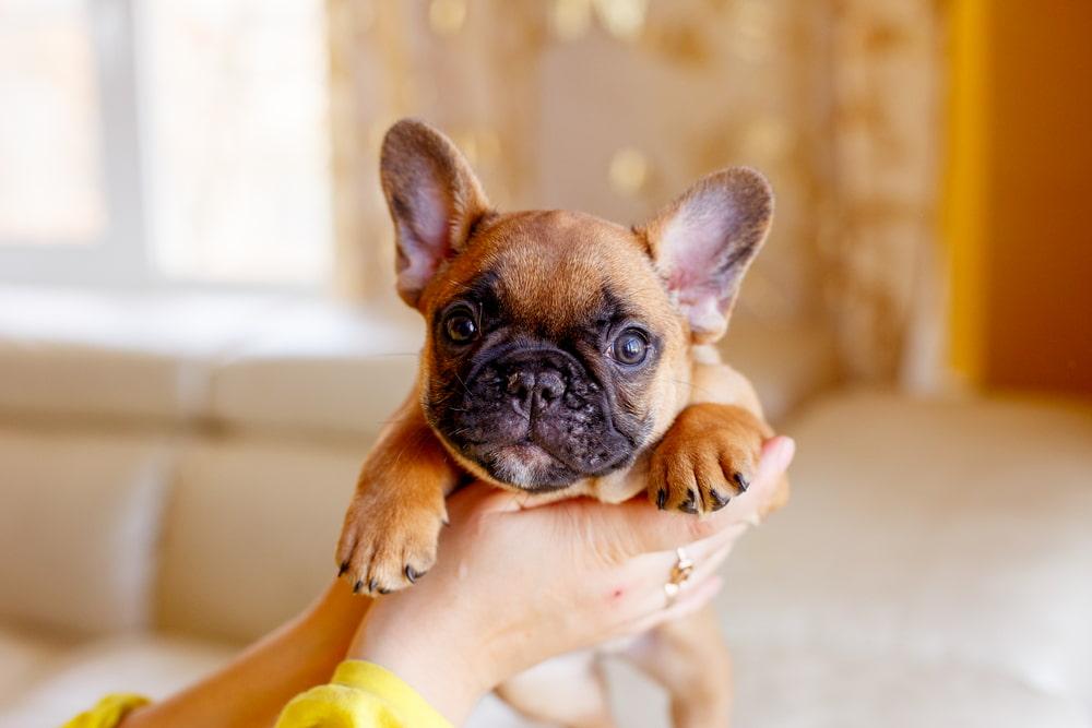 Woman holding French Bulldog puppy