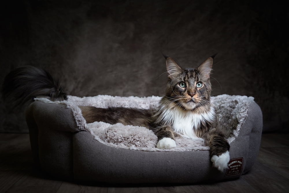 Maine Coon cat lying in cat bed