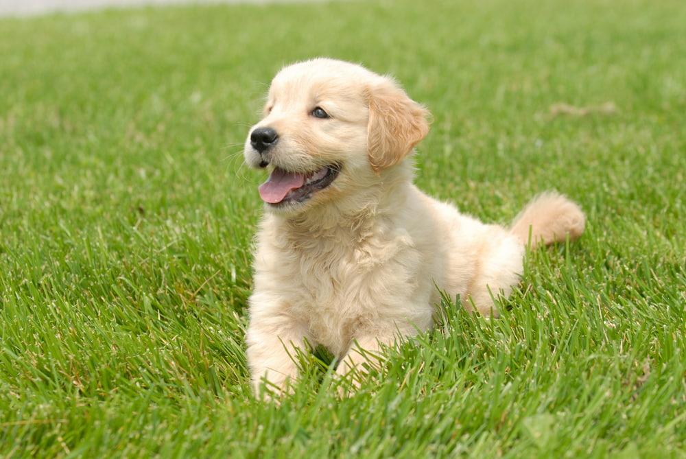 Very cute Golden Retriever puppy in yard