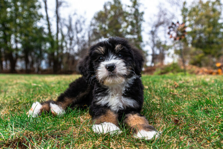 Bernedoodles puppy playing in the yard