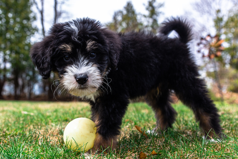 Bernedoodle puppy playing with ball