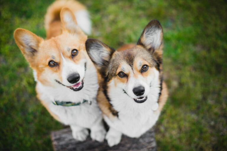 Two Corgi dogs