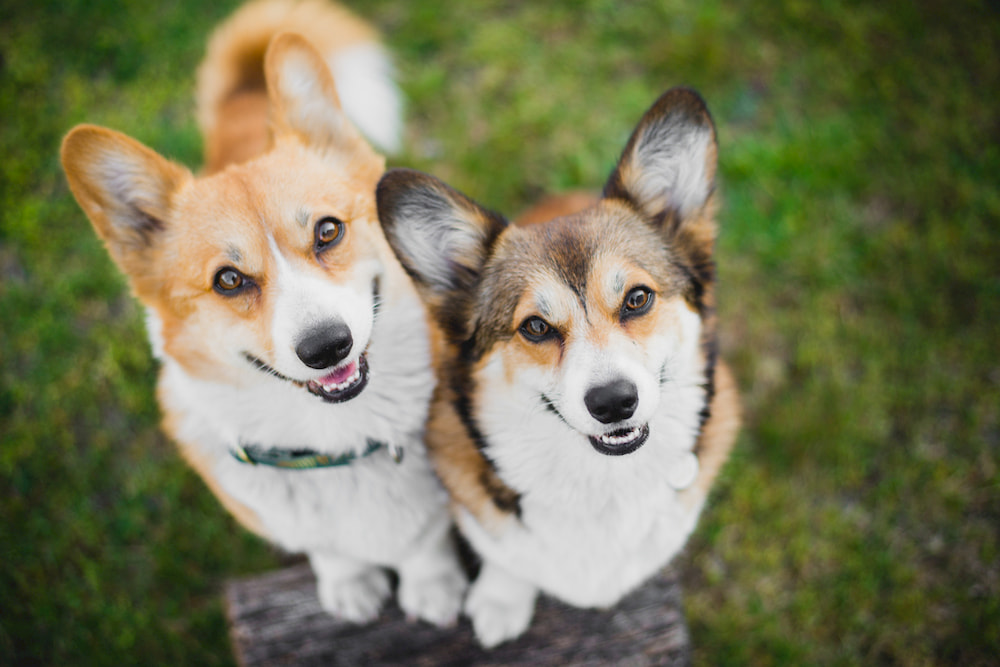 How to Introduce Dogs: Tips to Follow