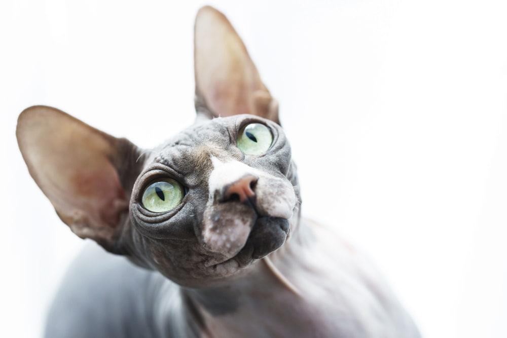 Sphynx cat with big green eyes