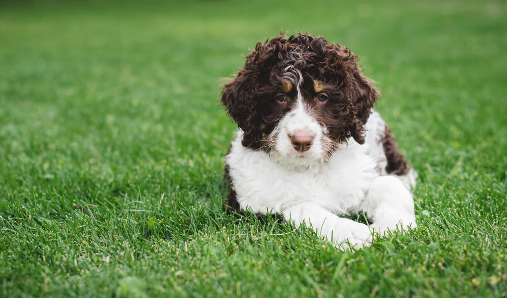 Brown and white Bernedoodles dog outside