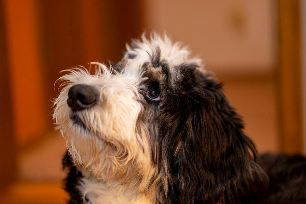 Bernedoodle dog looking up
