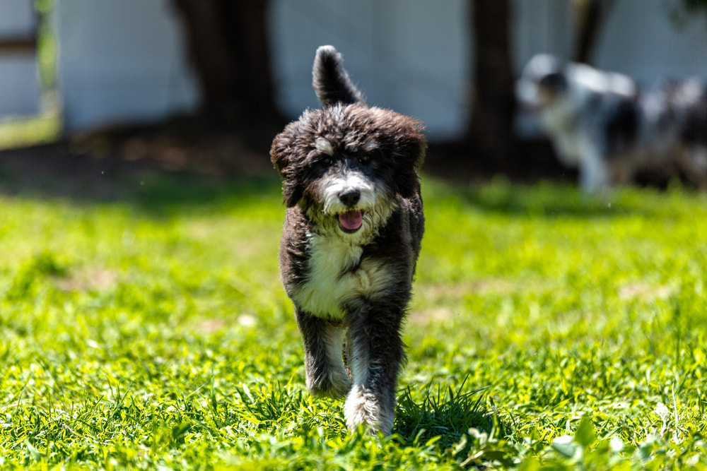 Cute Bernedoodles running outside