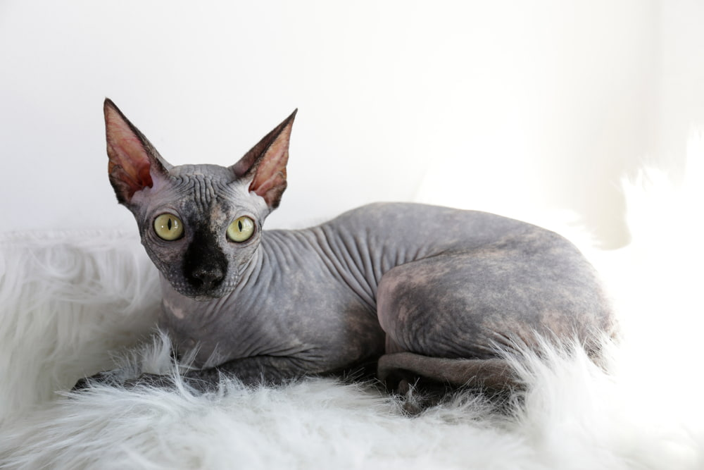 Silver Sphynx cat on fur throw