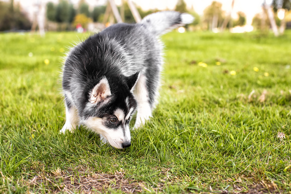 Puppy sniffing outdoors