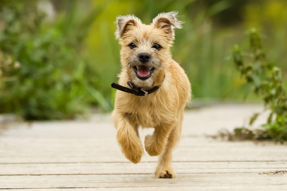 Happy healthy dog running