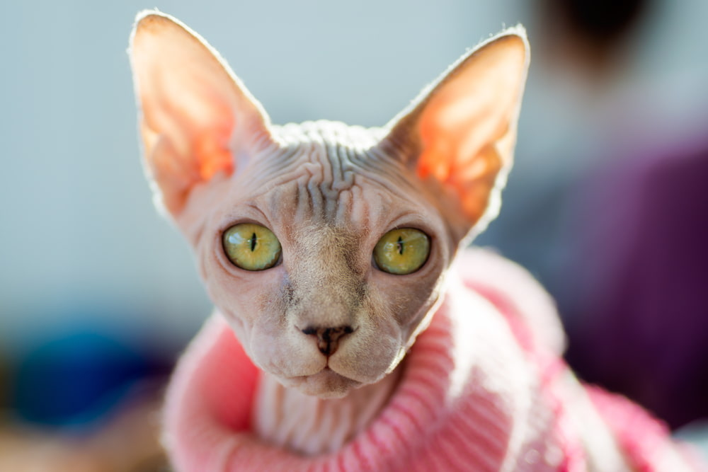 Sphynx cat in pink sweater