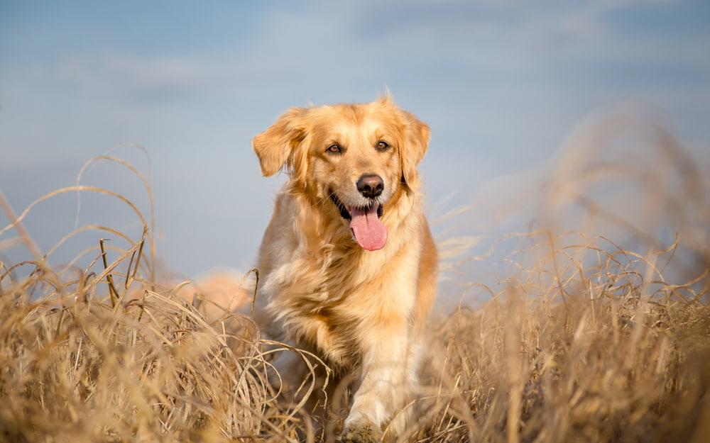 Golden Retriever running through field