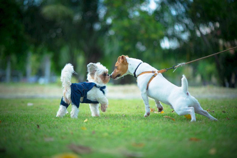 Jack Russell pulling on leash