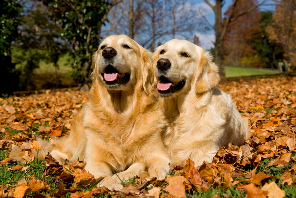 Two Golden Retrievers in pile of leaves