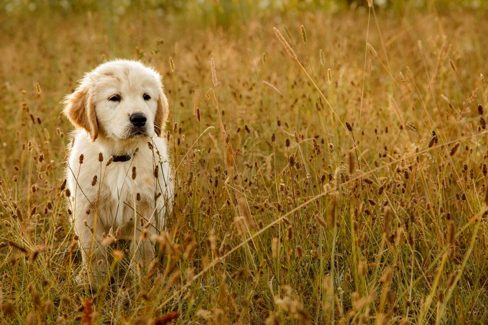 Golden puppy in field
