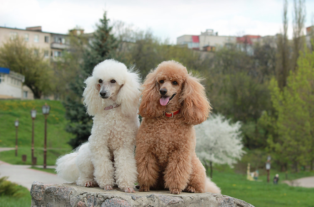 Two poodles outside sitting on a wall