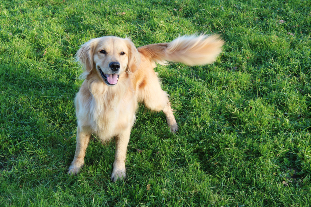 Dog standing in a garden tail wagging