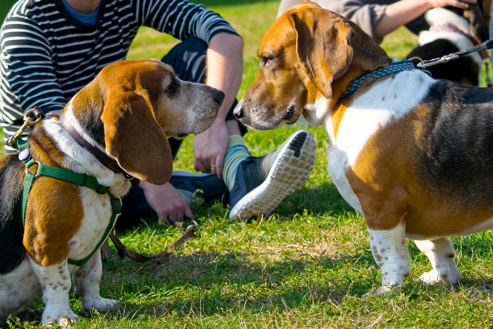 Two Basset Hounds meeting
