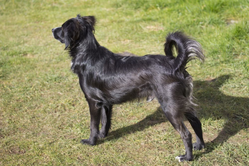 Dog standing alert with curved tail