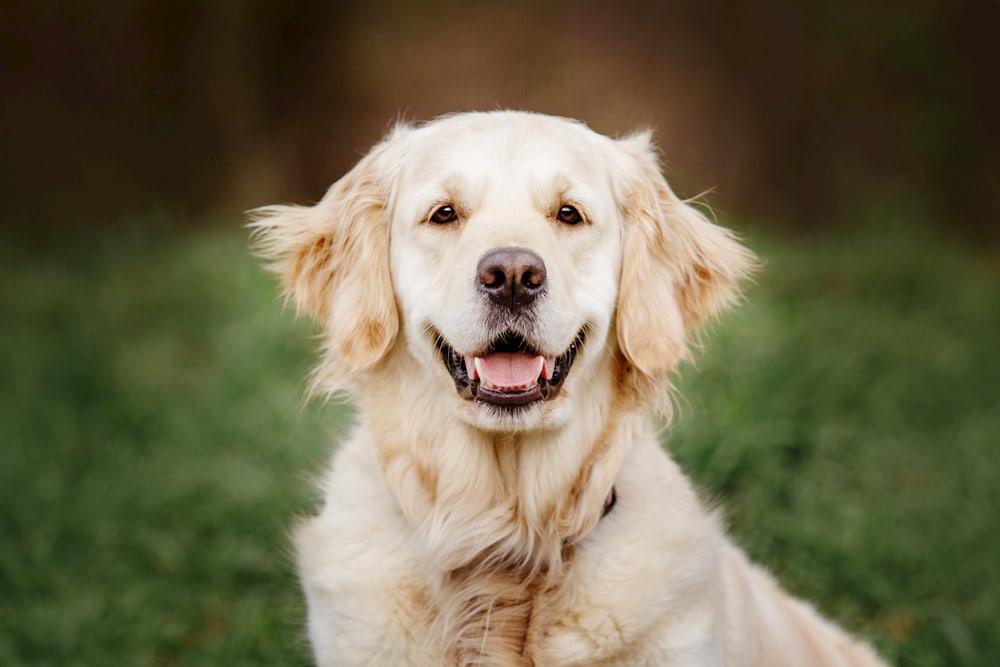 Golden Retriever smiling at camera