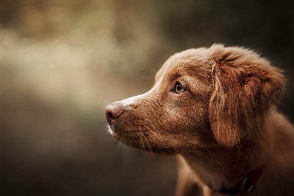 Female red dog