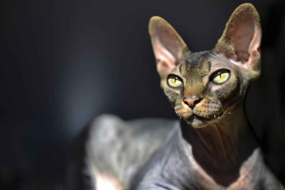 Sphynx cat in dramatic lighting