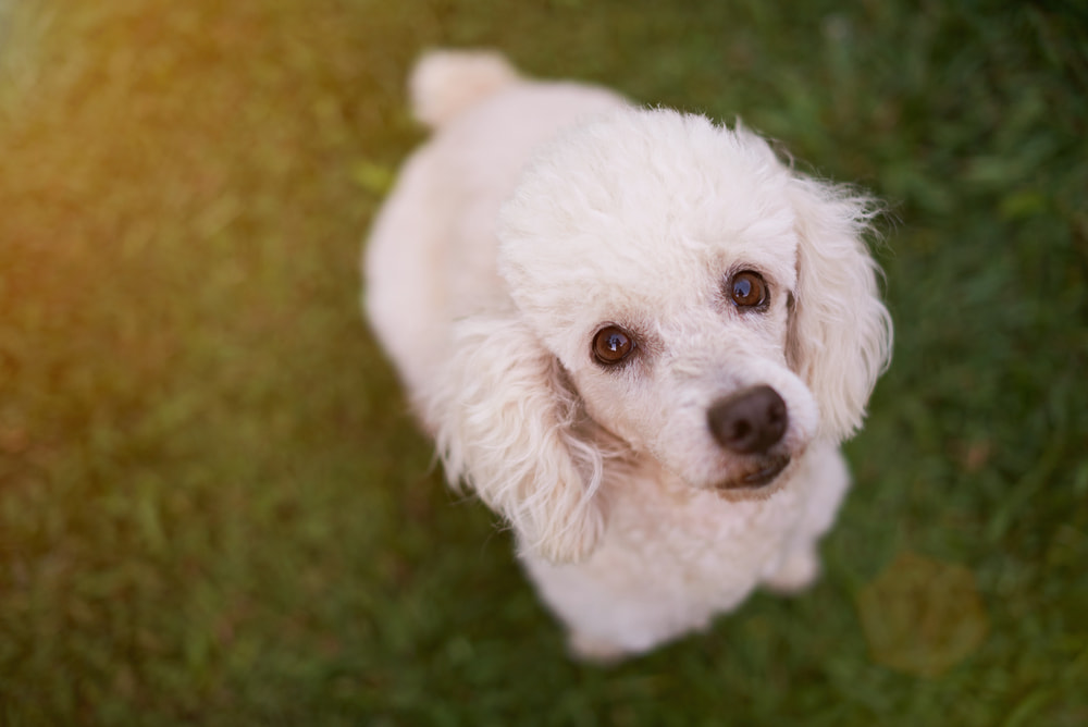 Sweet white poodle looking at camera