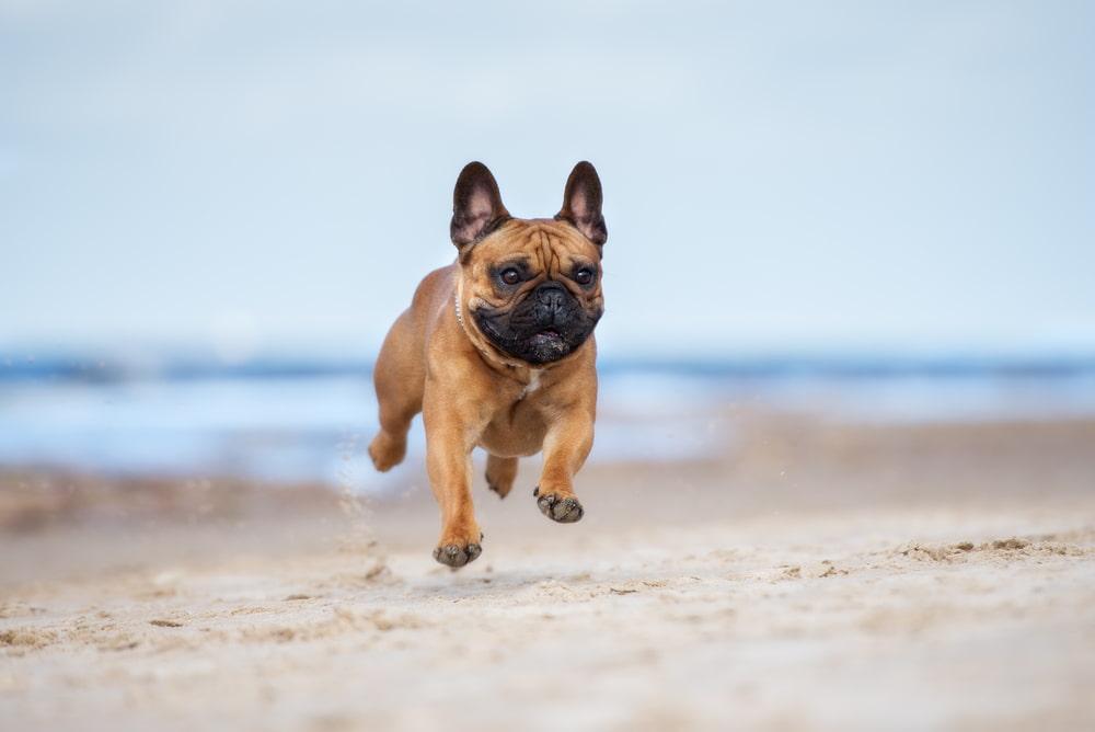 Frenchie running on the beach