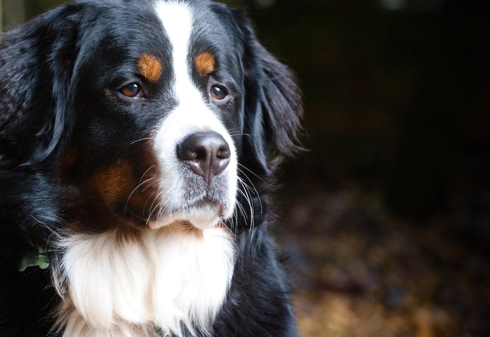 Bernese Mountain Dog looking serious