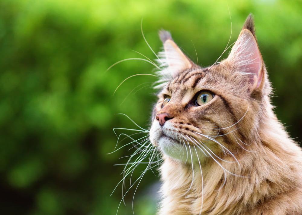 Closeup portrait of Maine Coon cat