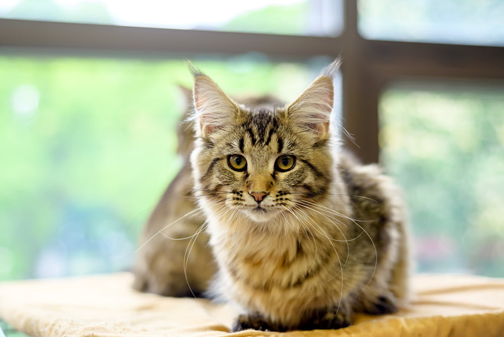 Young Maine Coon cat lying down