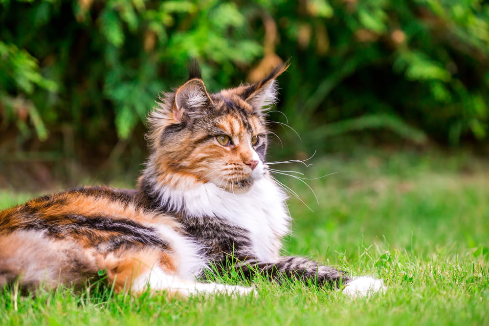 Maine Coon cat lying in grass