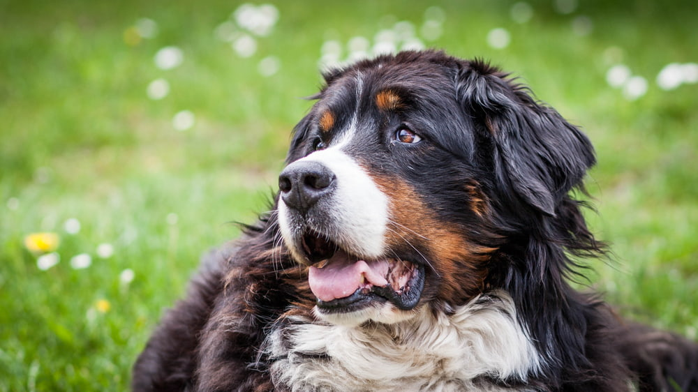 Bernese dog surrounded by flowers