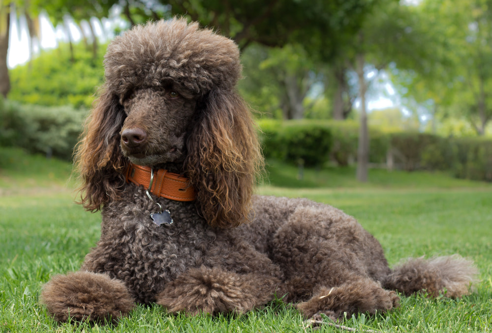Brown Poodle lying in the grass outside
