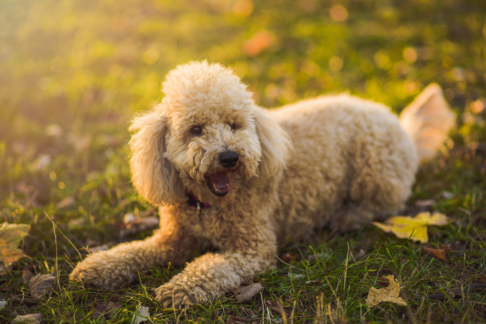 Fluffy Poodle dog lying in grass