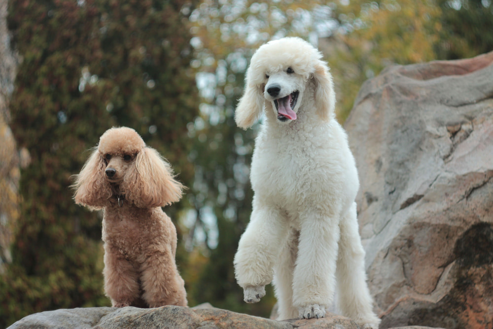 Two Poodles with traditional haircut