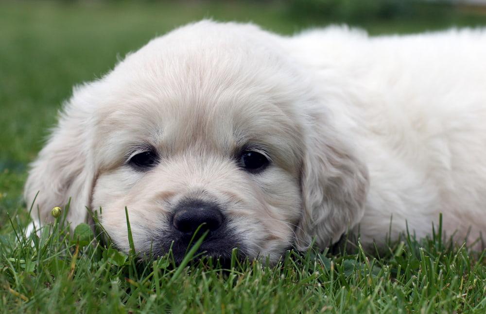 Cute Golden Retriever puppy outside