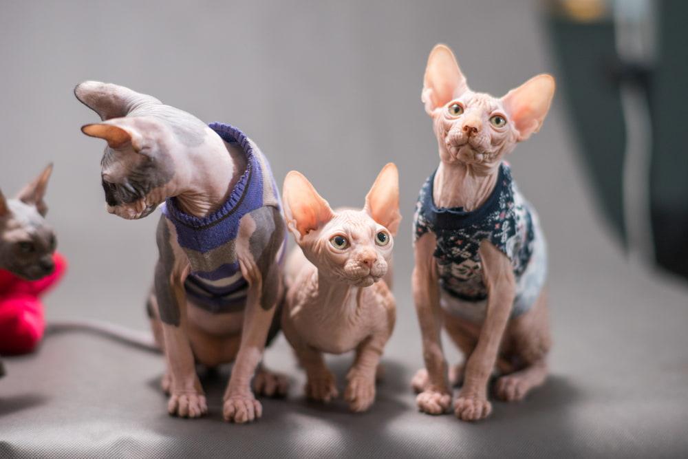 Three cute Sphynx cats