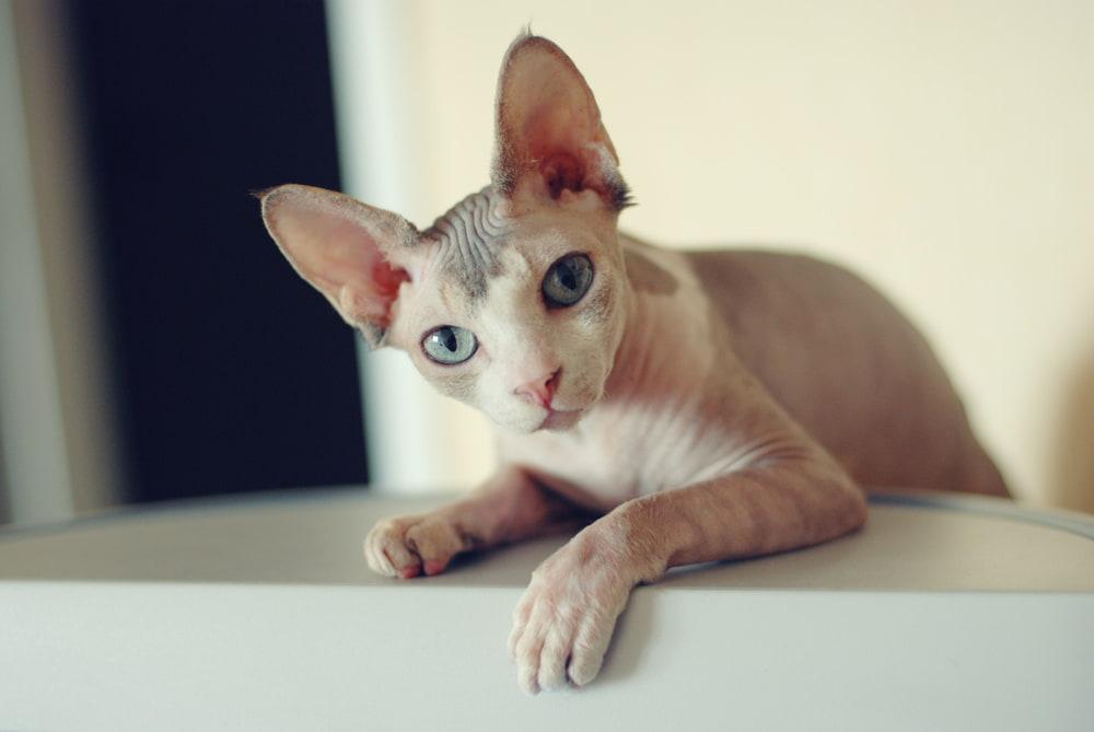 Sweet Sphynx cat