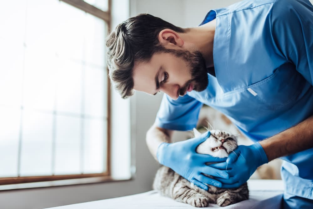 Cat being examined at the vet