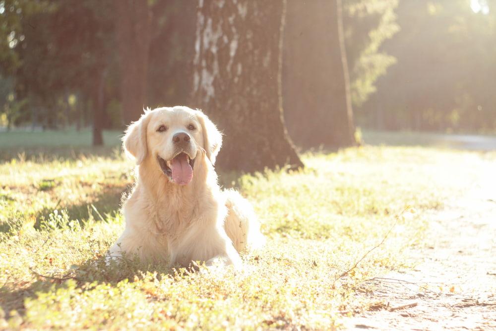 Golden Retriever lying by tree