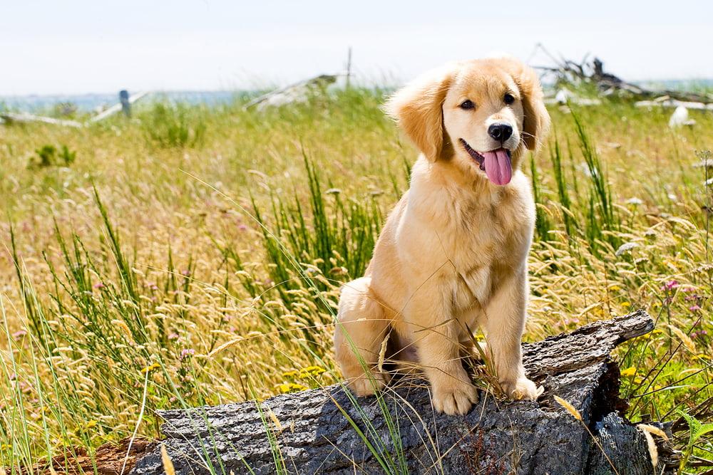 Golden Retriever puppy outside in field