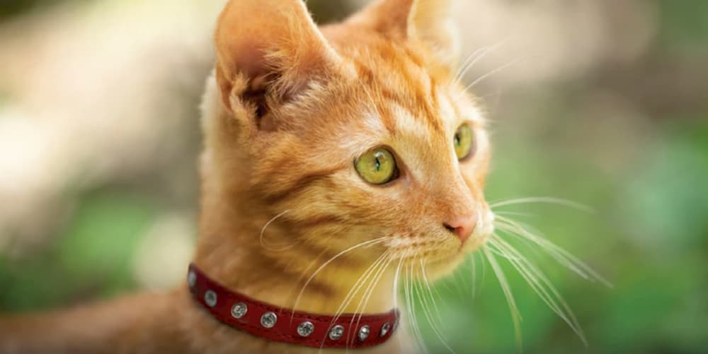 Cat wearing a leather cat collar