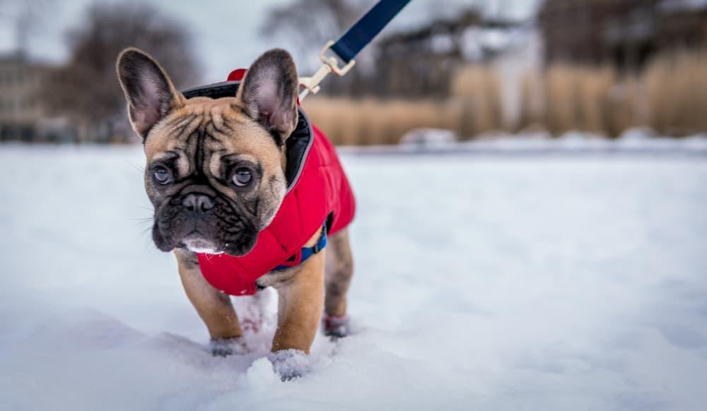 French bulldog walking in snow