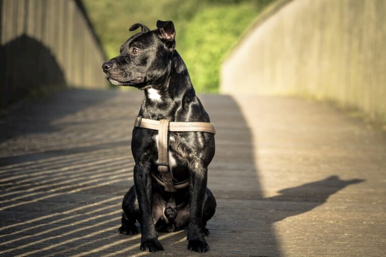 shiny black dog