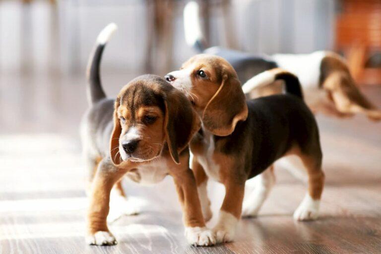 beagle puppies playing