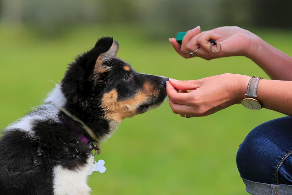 clicker training puppy
